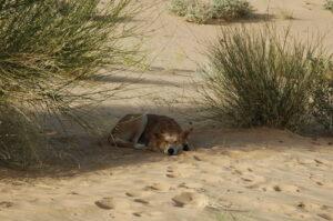 Mein Wildhund Baly in der Sahara